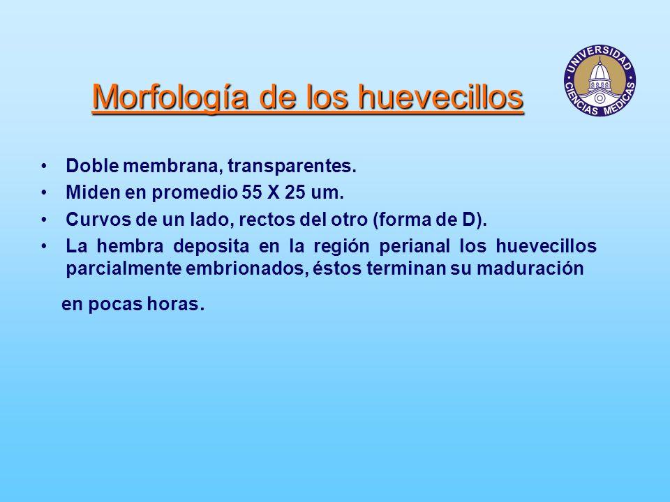 Morfología de los huevecillos Doble membrana, transparentes. Miden en promedio 55 X 25 um. Curvos de un lado, rectos del otro (forma de D). La hembra