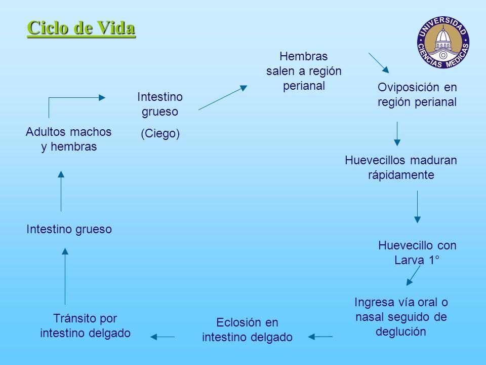 Ciclo de Vida Intestino grueso (Ciego) Adultos machos y hembras Hembras salen a región perianal Oviposición en región perianal Huevecillos maduran ráp