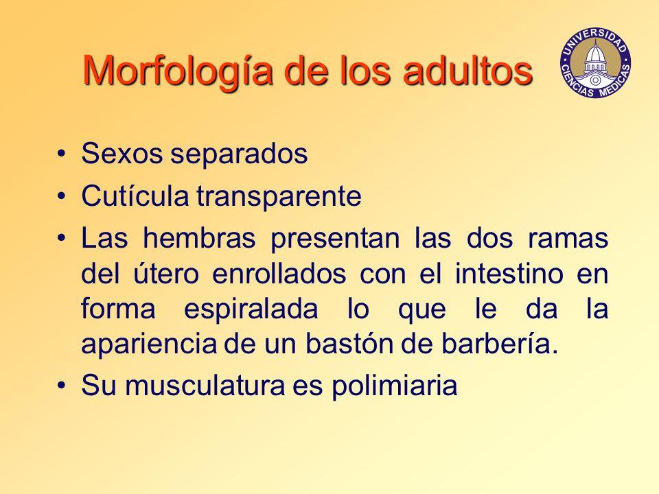Morfología de los adultos Sexos separados Cutícula transparente Las hembras presentan las dos ramas del útero enrollados con el intestino en forma esp