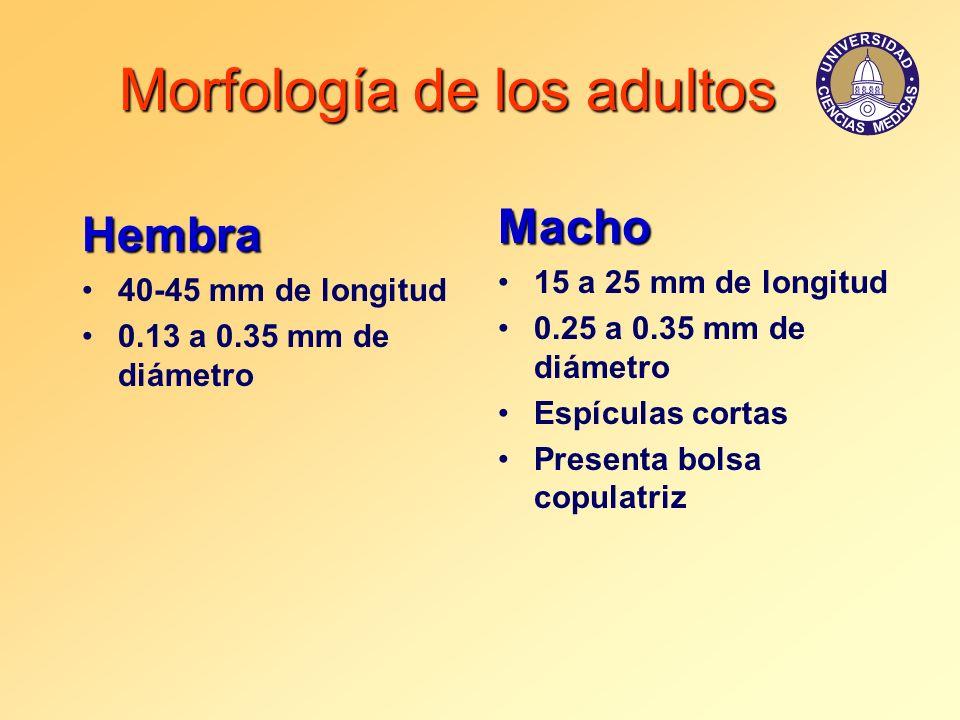 Morfología de los adultos Hembra 40-45 mm de longitud 0.13 a 0.35 mm de diámetro Macho 15 a 25 mm de longitud 0.25 a 0.35 mm de diámetro Espículas cor