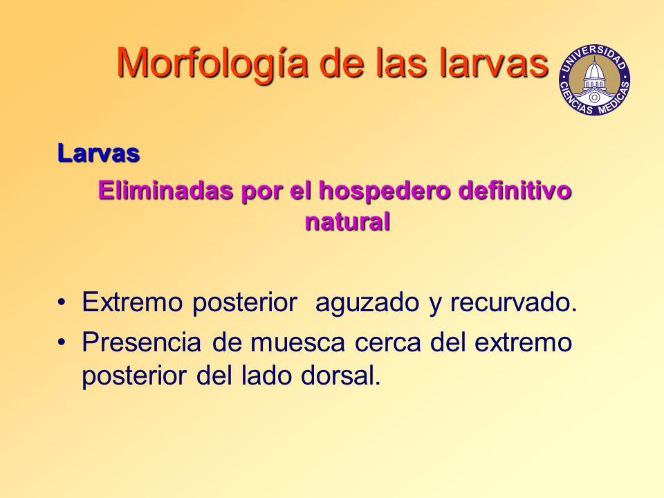 Morfología de las larvas Larvas Eliminadas por el hospedero definitivo natural Extremo posterior aguzado y recurvado. Presencia de muesca cerca del ex