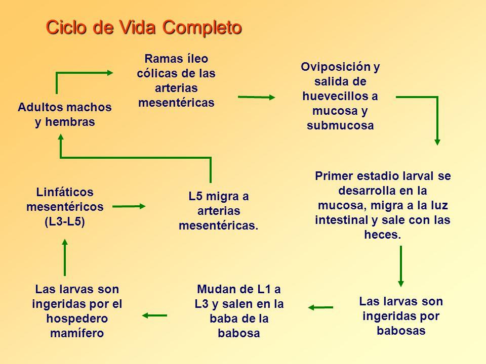 Ciclo de Vida Completo Ramas íleo cólicas de las arterias mesentéricas Adultos machos y hembras Oviposición y salida de huevecillos a mucosa y submuco