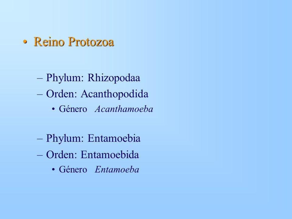 Reino ProtozoaReino Protozoa –Phylum: Rhizopodaa –Orden: Acanthopodida Género Acanthamoeba –Phylum: Entamoebia –Orden: Entamoebida Género Entamoeba