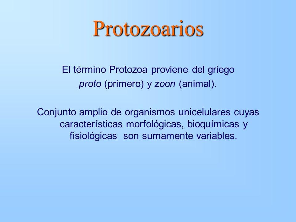 Protozoarios El término Protozoa proviene del griego proto (primero) y zoon (animal). Conjunto amplio de organismos unicelulares cuyas características