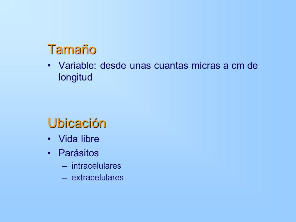 Tamaño Variable: desde unas cuantas micras a cm de longitudUbicación Vida libre Parásitos –intracelulares –extracelulares