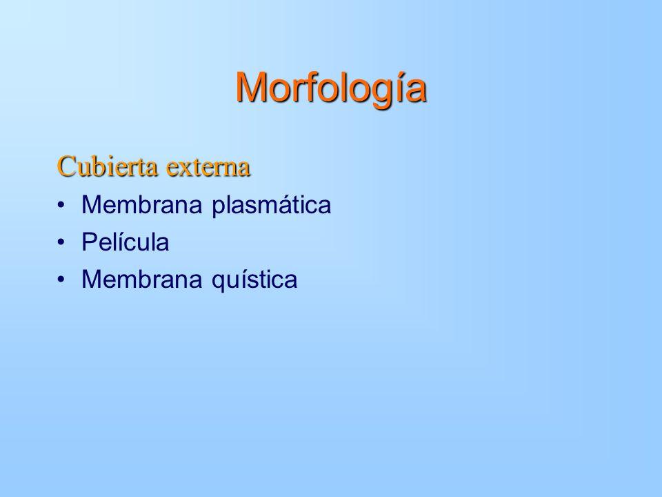 Morfología Cubierta externa Membrana plasmática Película Membrana quística