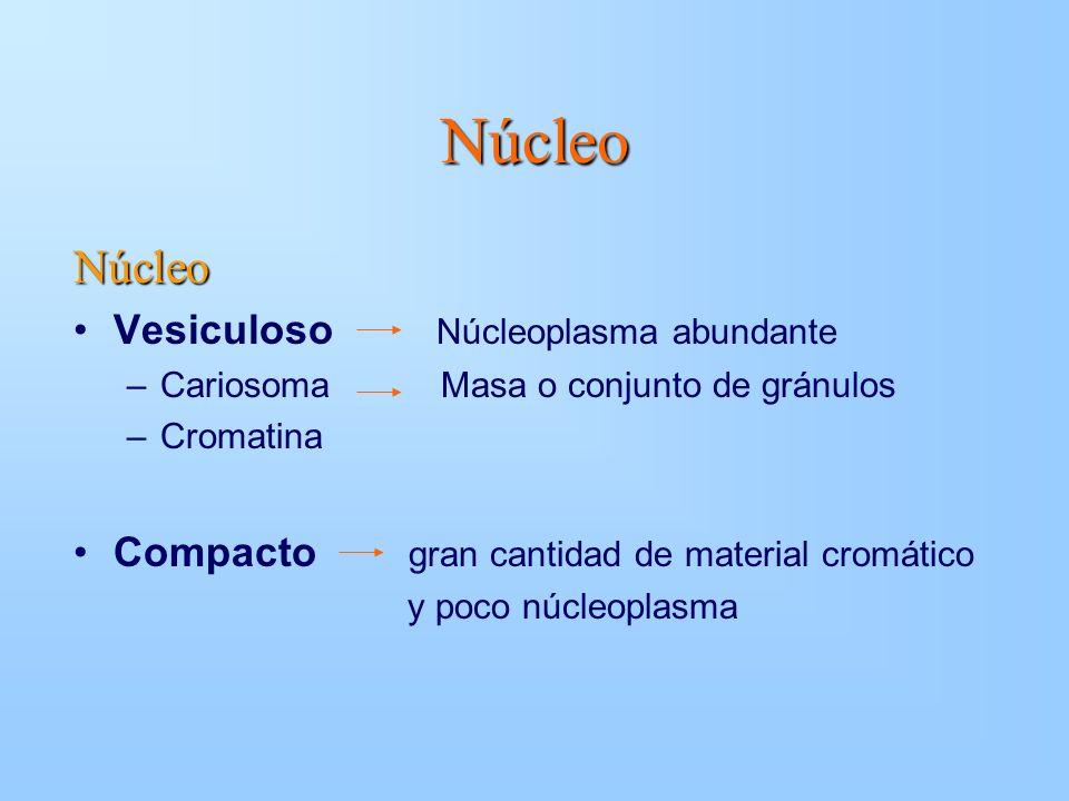 Núcleo Núcleo Vesiculoso Núcleoplasma abundante –Cariosoma Masa o conjunto de gránulos –Cromatina Compacto gran cantidad de material cromático y poco