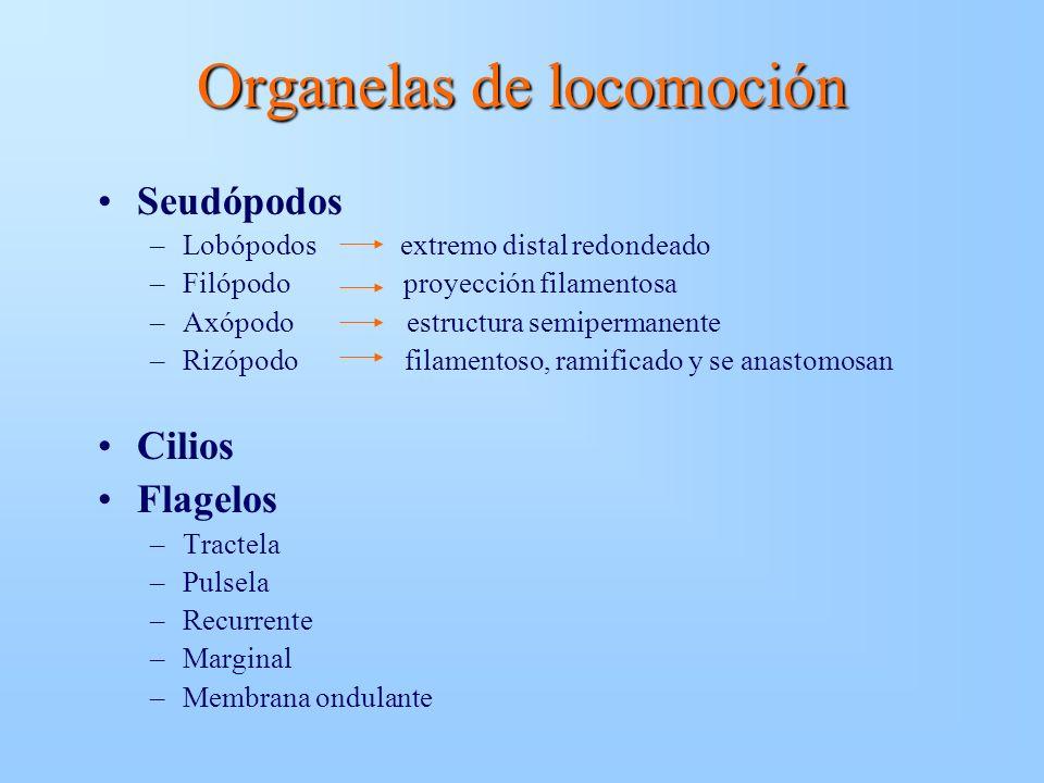 Organelas de locomoción Seudópodos –Lobópodos extremo distal redondeado –Filópodo proyección filamentosa –Axópodo estructura semipermanente –Rizópodo