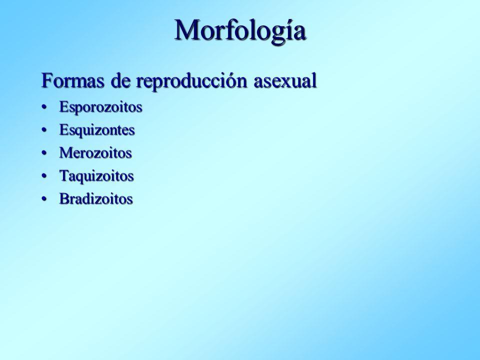 Morfología Formas de reproducción asexual EsporozoitosEsporozoitos EsquizontesEsquizontes MerozoitosMerozoitos TaquizoitosTaquizoitos BradizoitosBradi