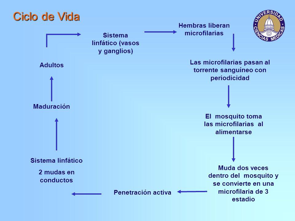 Ciclo de Vida Sistema linfático (vasos y ganglios) Adultos Hembras liberan microfilarias Las microfilarias pasan al torrente sanguíneo con periodicida