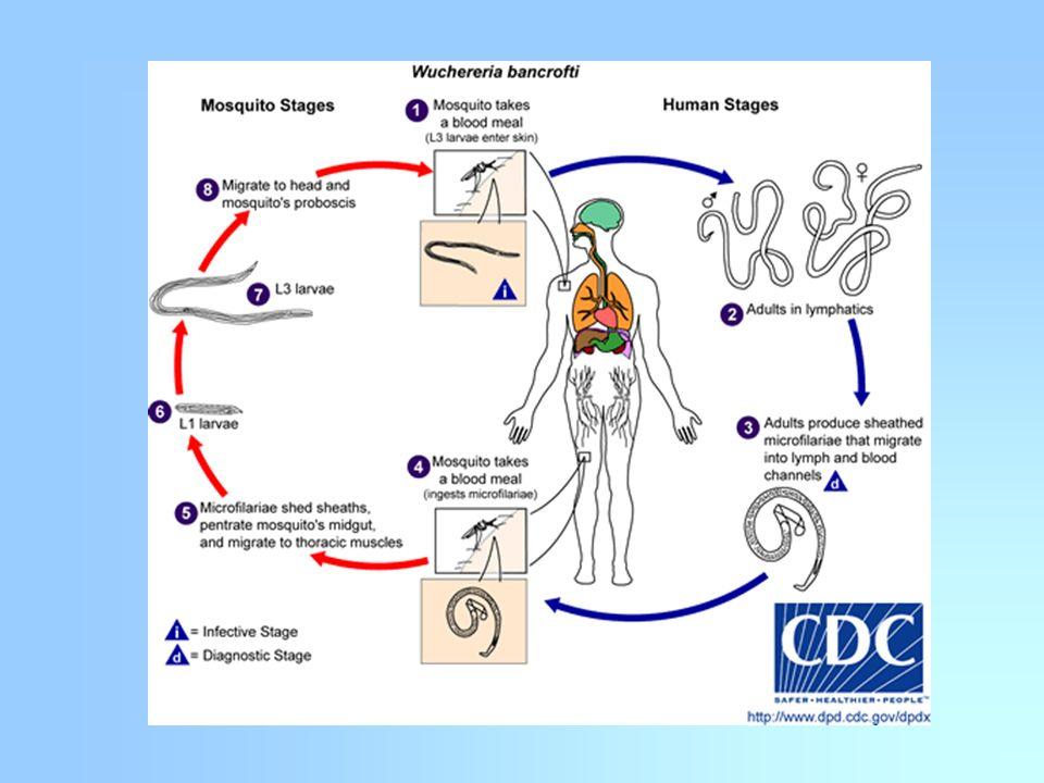 Epidemiología Prevalencia Se distribuye en regiones tropicales y subtropicales.