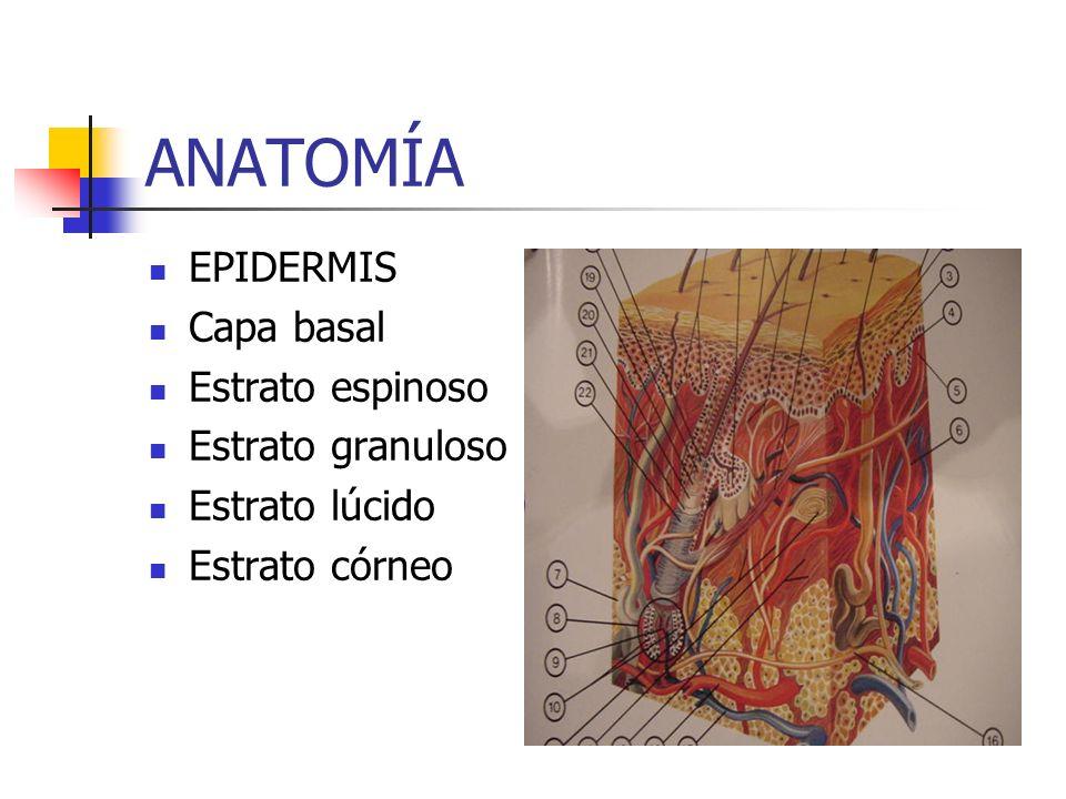 DERMIS Fibras: colágenas, elásticas y reticulares Sustancia fundamental Vasos, nervios, anexos cutáneos y células de varios tipos: fibroblastos, histiocitos, mastocitos, polimorfonucleares eosinófilos y plasmocitos.