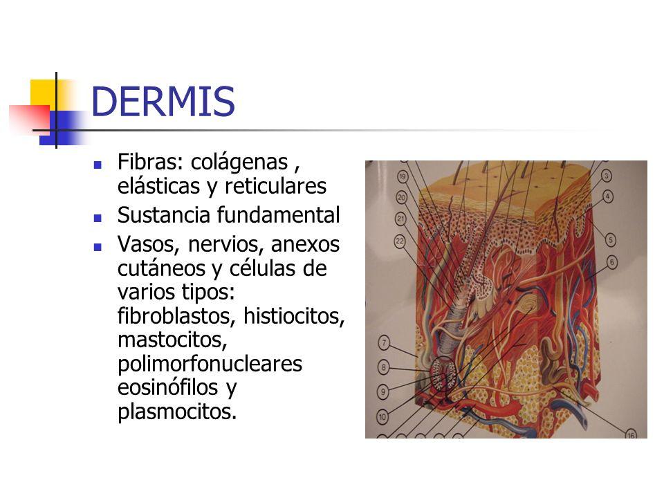 DERMIS Fibras: colágenas, elásticas y reticulares Sustancia fundamental Vasos, nervios, anexos cutáneos y células de varios tipos: fibroblastos, histi