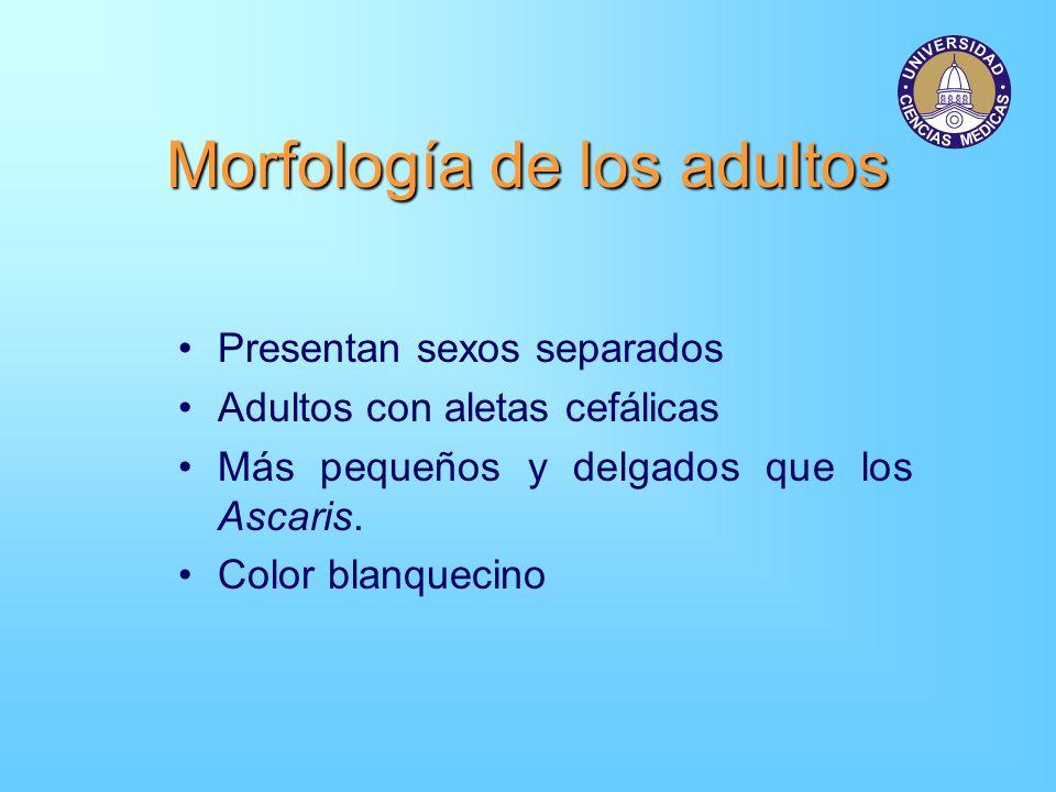 Morfología de los adultos Presentan sexos separados Adultos con aletas cefálicas Más pequeños y delgados que los Ascaris. Color blanquecino