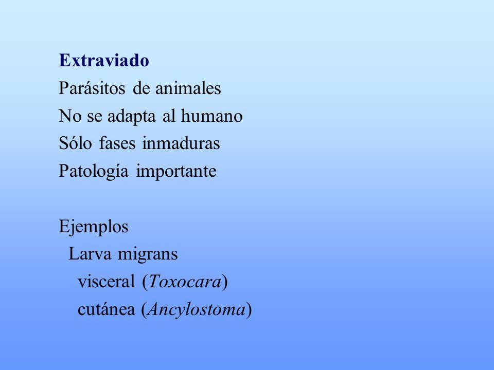 Extraviado Parásitos de animales No se adapta al humano Sólo fases inmaduras Patología importante Ejemplos Larva migrans visceral (Toxocara) cutánea (