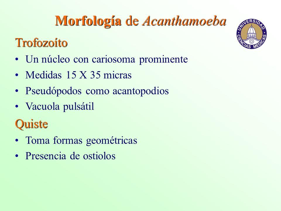 Morfología de Acanthamoeba Trofozoíto Un núcleo con cariosoma prominente Medidas 15 X 35 micras Pseudópodos como acantopodios Vacuola pulsátilQuiste T