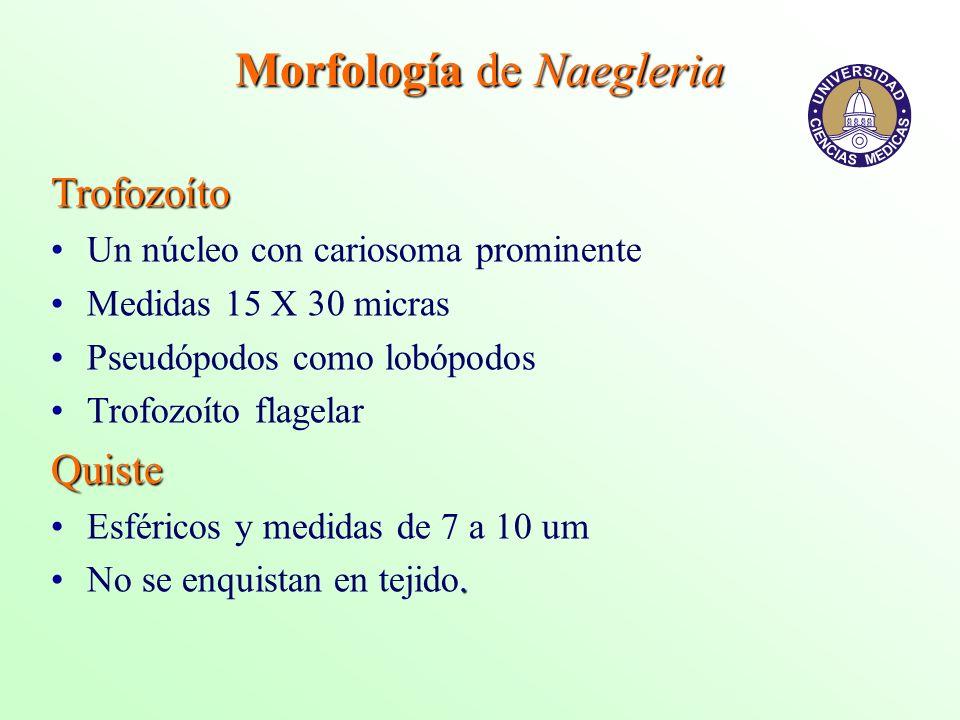 Morfología de Naegleria Trofozoíto Un núcleo con cariosoma prominente Medidas 15 X 30 micras Pseudópodos como lobópodos Trofozoíto flagelarQuiste Esfé