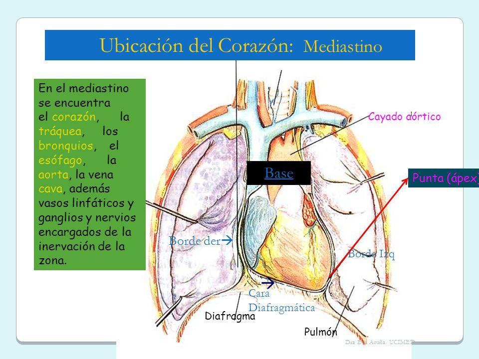 Cayado aórtico Punta (ápex) Pulmón Diafragma En el mediastino se encuentra el corazón, la tráquea, los bronquios, el esófago, la aorta, la vena cava,
