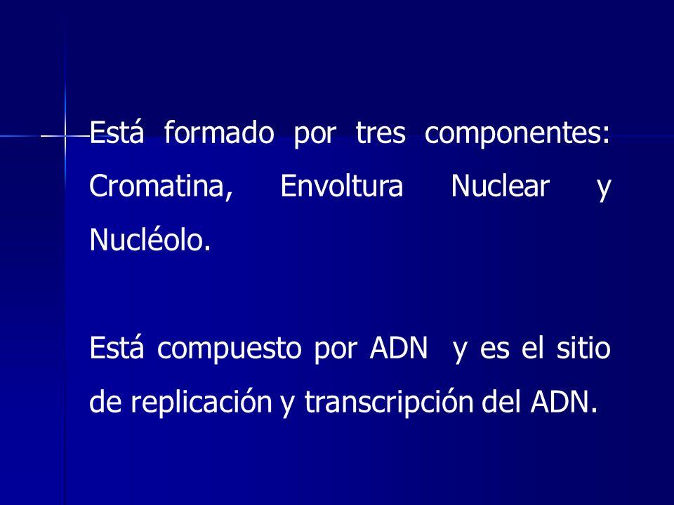 Está formado por tres componentes: Cromatina, Envoltura Nuclear y Nucléolo. Está compuesto por ADN y es el sitio de replicación y transcripción del AD