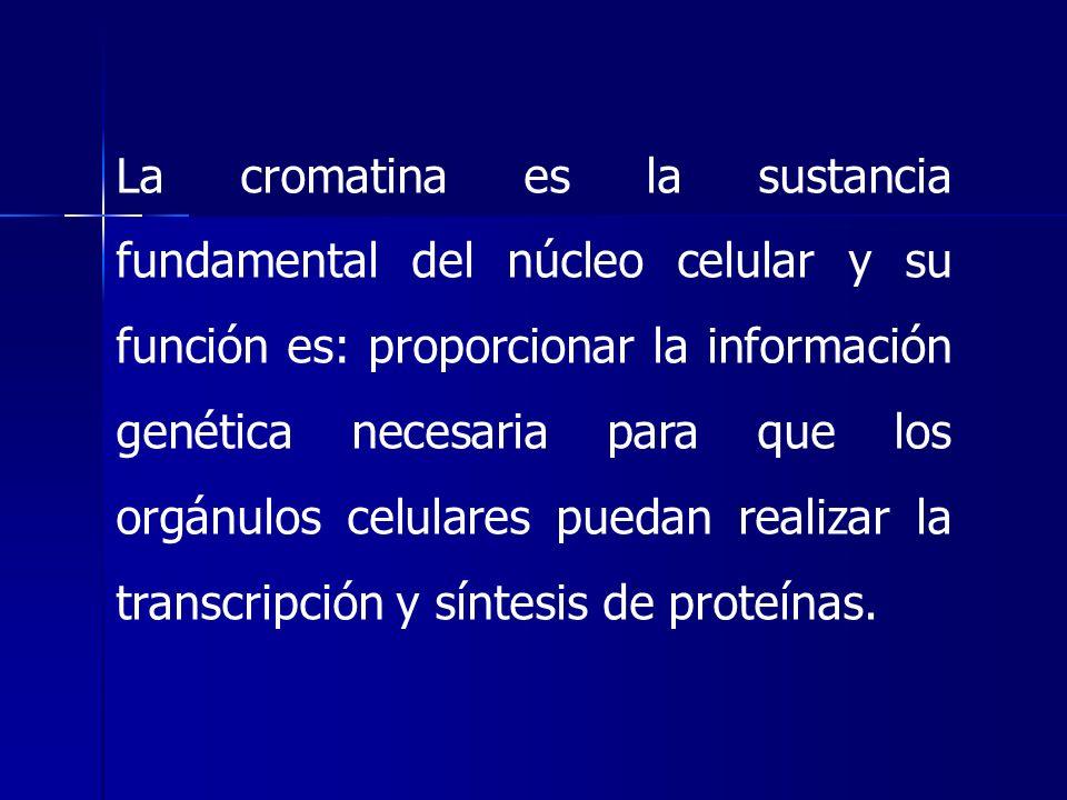 La cromatina es la sustancia fundamental del núcleo celular y su función es: proporcionar la información genética necesaria para que los orgánulos cel
