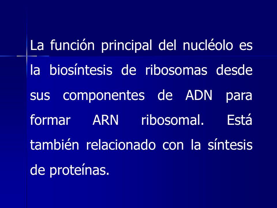 La función principal del nucléolo es la biosíntesis de ribosomas desde sus componentes de ADN para formar ARN ribosomal. Está también relacionado con