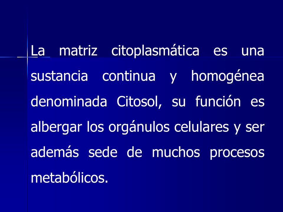 La matriz citoplasmática es una sustancia continua y homogénea denominada Citosol, su función es albergar los orgánulos celulares y ser además sede de