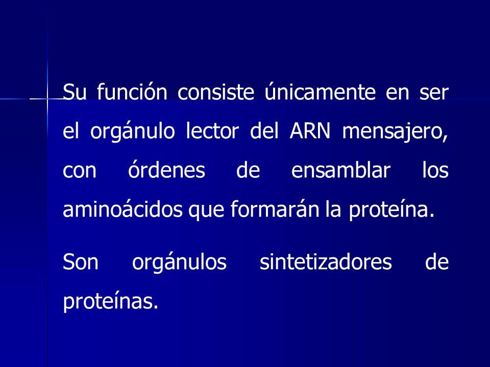 Su función consiste únicamente en ser el orgánulo lector del ARN mensajero, con órdenes de ensamblar los aminoácidos que formarán la proteína. Son org