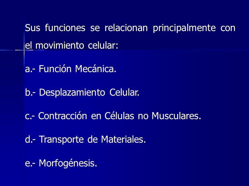 Sus funciones se relacionan principalmente con el movimiento celular: a.- Función Mecánica. b.- Desplazamiento Celular. c.- Contracción en Células no