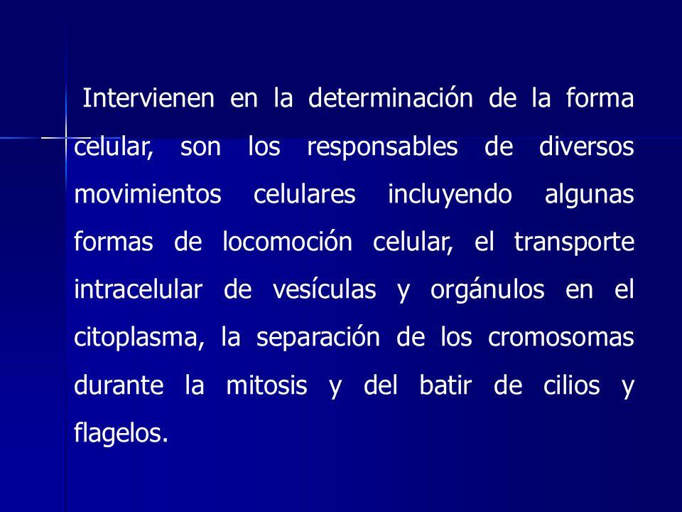 Intervienen en la determinación de la forma celular, son los responsables de diversos movimientos celulares incluyendo algunas formas de locomoción ce