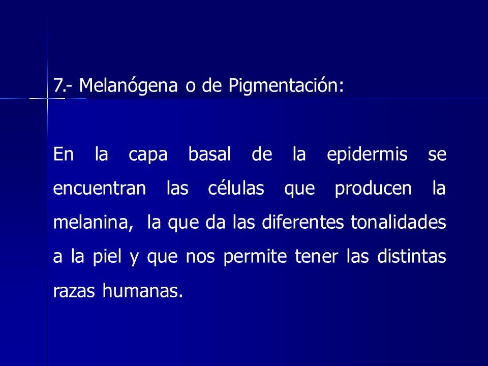 7.- Melanógena o de Pigmentación: En la capa basal de la epidermis se encuentran las células que producen la melanina, la que da las diferentes tonali