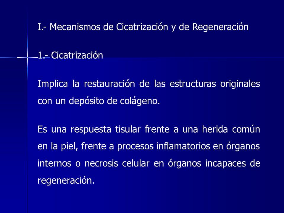 I.- Mecanismos de Cicatrización y de Regeneración 1.- Cicatrización Implica la restauración de las estructuras originales con un depósito de colágeno.