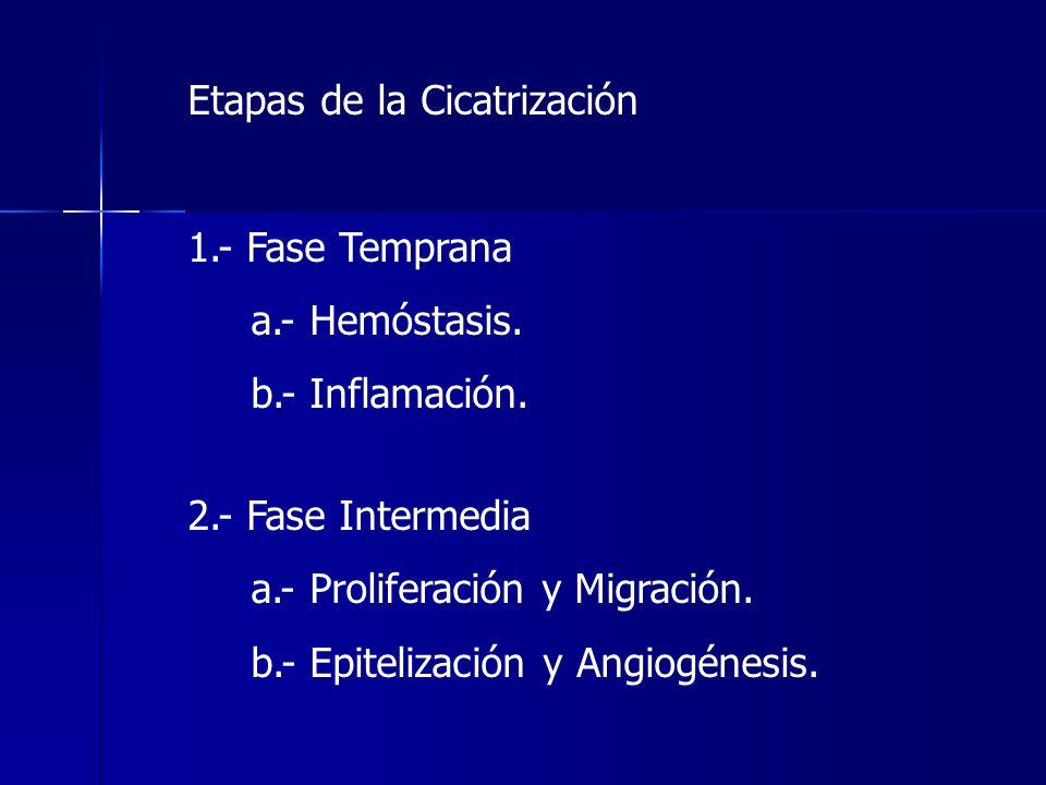 Etapas de la Cicatrización 1.- Fase Temprana a.- Hemóstasis. b.- Inflamación. 2.- Fase Intermedia a.- Proliferación y Migración. b.- Epitelización y A