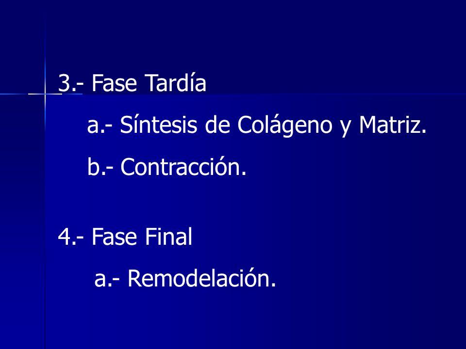 3.- Fase Tardía a.- Síntesis de Colágeno y Matriz. b.- Contracción. 4.- Fase Final a.- Remodelación.