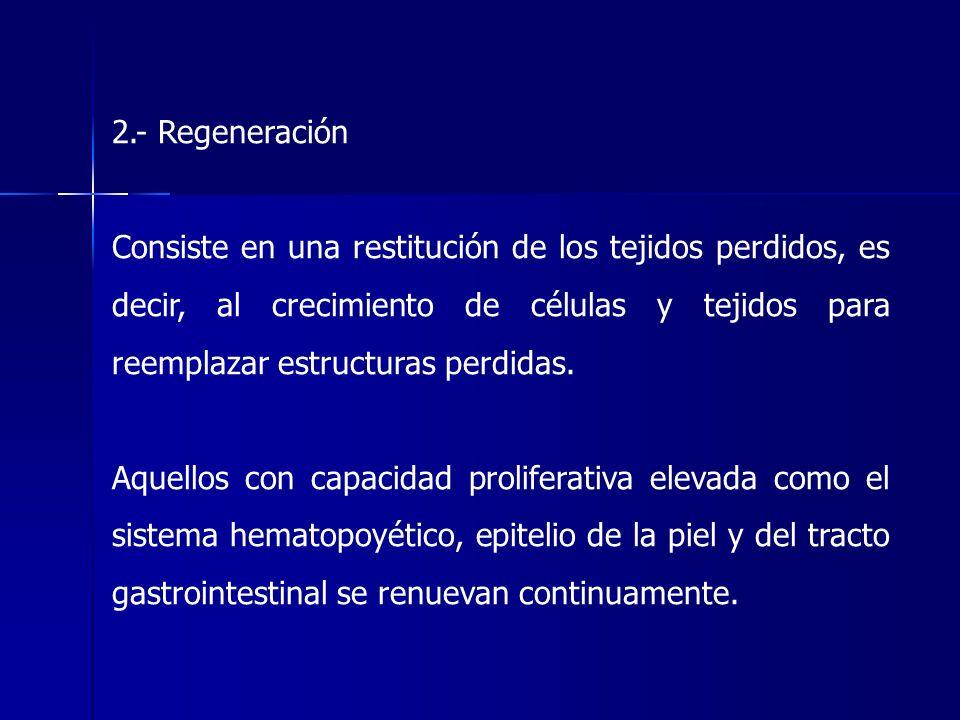 2.- Regeneración Consiste en una restitución de los tejidos perdidos, es decir, al crecimiento de células y tejidos para reemplazar estructuras perdid