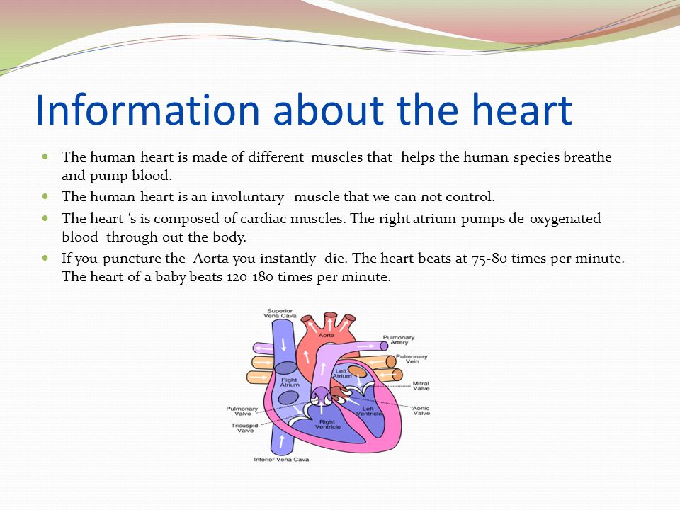 Information about the heart The human heart is made of different muscles that helps the human species breathe and pump blood.