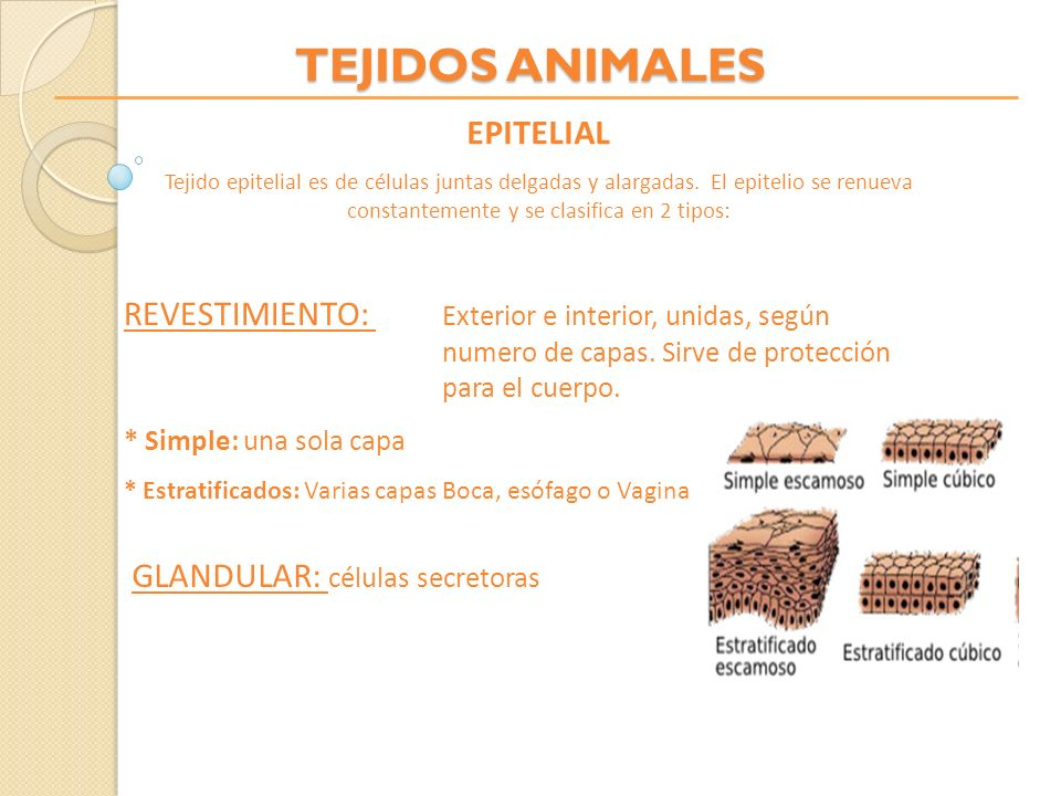 TEJIDOS ANIMALES EPITELIAL Tejido epitelial es de células juntas delgadas y alargadas. El epitelio se renueva constantemente y se clasifica en 2 tipos