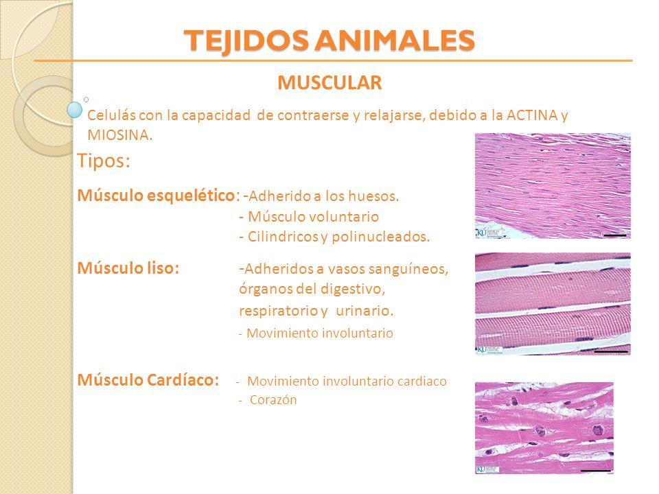 TEJIDOS ANIMALES MUSCULAR Celulás con la capacidad de contraerse y relajarse, debido a la ACTINA y MIOSINA. Tipos: Músculo esquelético: - Adherido a l