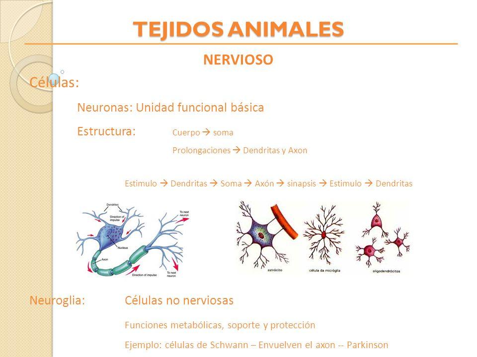 TEJIDOS ANIMALES NERVIOSO Células: Neuronas: Unidad funcional básica Estructura: Cuerpo soma Prolongaciones Dendritas y Axon Estimulo Dendritas Soma A