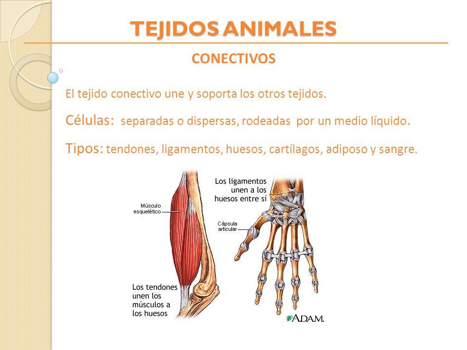TEJIDOS ANIMALES CONECTIVOS El tejido conectivo une y soporta los otros tejidos. Células: separadas o dispersas, rodeadas por un medio líquido. Tipos: