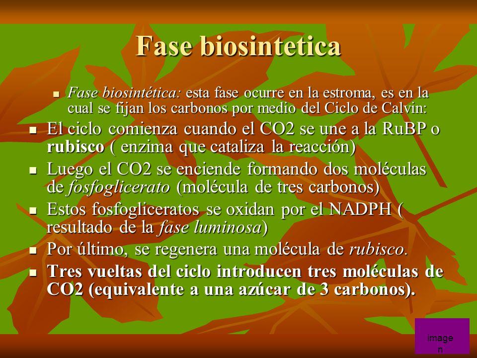 Fase biosintetica Fase biosintética: esta fase ocurre en la estroma, es en la cual se fijan los carbonos por medio del Ciclo de Calvin: Fase biosintét