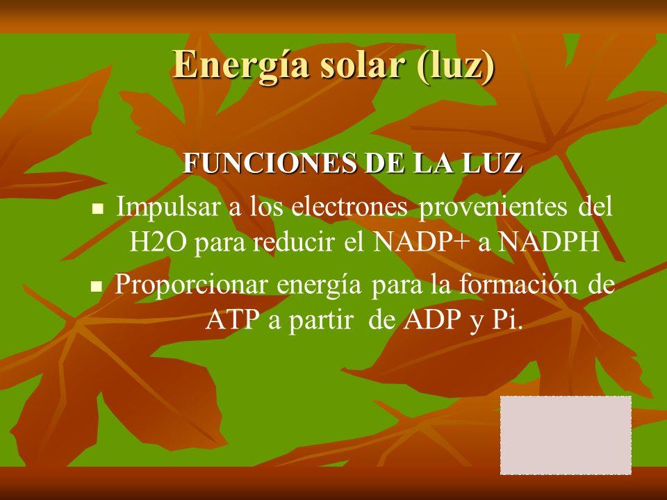 Energía solar (luz) FUNCIONES DE LA LUZ Impulsar a los electrones provenientes del H2O para reducir el NADP+ a NADPH Proporcionar energía para la form