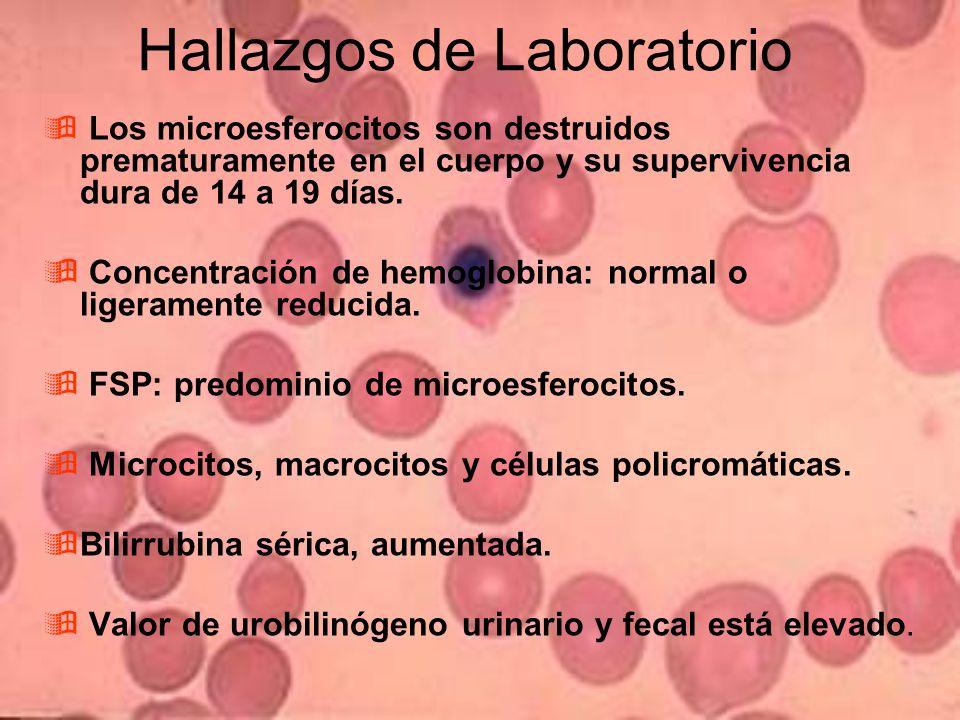 Hallazgos de Laboratorio Los microesferocitos son destruidos prematuramente en el cuerpo y su supervivencia dura de 14 a 19 días.