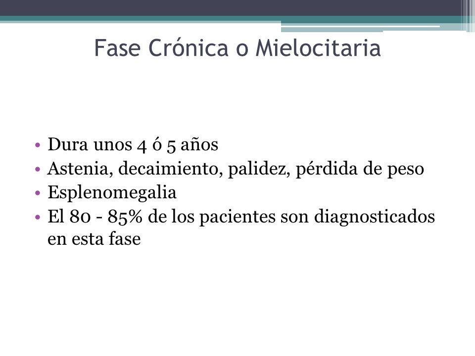 Fase Crónica o Mielocitaria Dura unos 4 ó 5 años Astenia, decaimiento, palidez, pérdida de peso Esplenomegalia El 80 - 85% de los pacientes son diagno