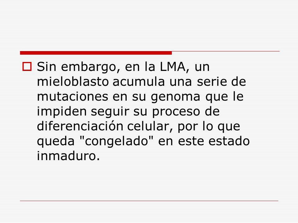 Sin embargo, en la LMA, un mieloblasto acumula una serie de mutaciones en su genoma que le impiden seguir su proceso de diferenciación celular, por lo