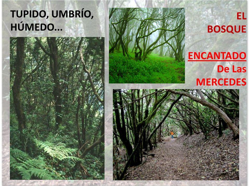 TUPIDO, UMBRÍO, HÚMEDO... EL BOSQUE ENCANTADO De Las MERCEDES