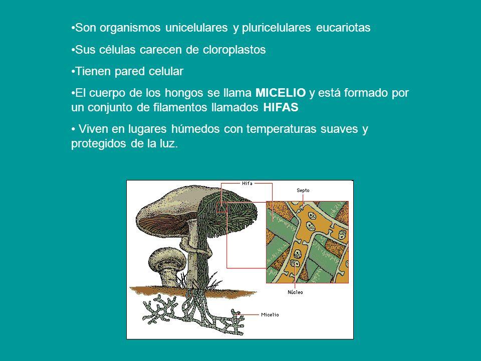 Son organismos unicelulares y pluricelulares eucariotas Sus células carecen de cloroplastos Tienen pared celular El cuerpo de los hongos se llama MICE