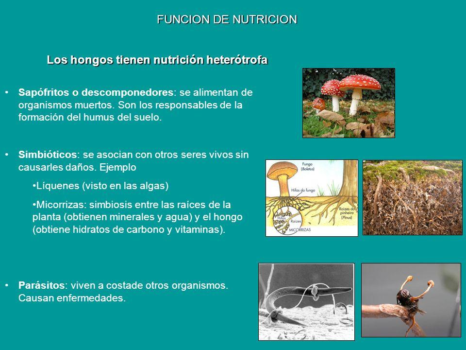 FUNCION DE NUTRICION Sapófritos o descomponedores: se alimentan de organismos muertos. Son los responsables de la formación del humus del suelo. Simbi