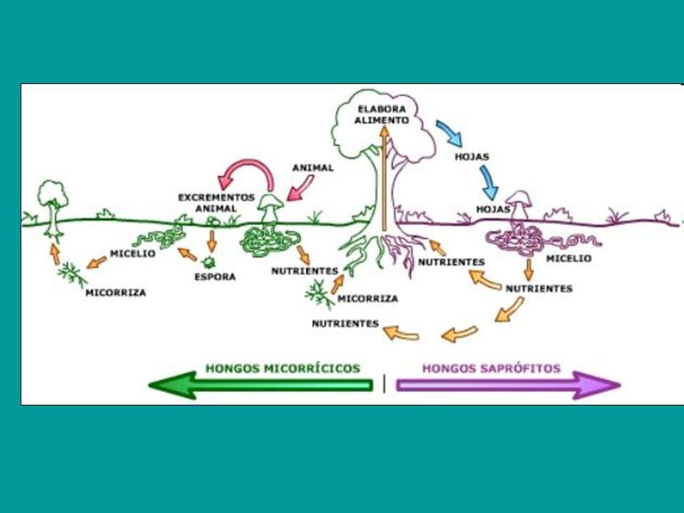 FUNCION DE RELACION La función de relación de los hongos está estrechamente relacionada con la función de nutrición FUNCION DE REPRODUCCION Los hongos se reproducen sexualmente por esporas y asexualmente por gemación y esporas asexuales Esporas sexuales Esporas asexuales