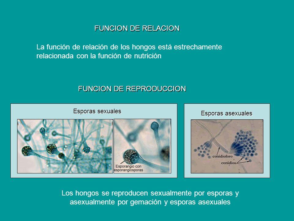 FUNCION DE RELACION La función de relación de los hongos está estrechamente relacionada con la función de nutrición FUNCION DE REPRODUCCION Los hongos
