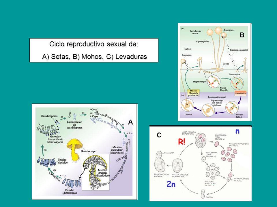 C B A Ciclo reproductivo sexual de: A) Setas, B) Mohos, C) Levaduras A) Setas, B) Mohos, C) Levaduras